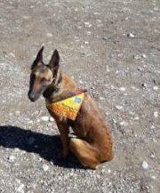 Bocconi avvelenati a Firenze: arrivano i cani antiveleno dei CC!